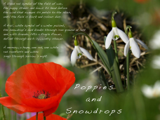 Poppies and Snowdrops